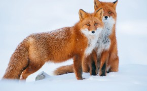 Picture pose, look, the snow, Fox, snow, snowfall, winter, Fox, pair, two, red, girlfriend, sitting, foxes