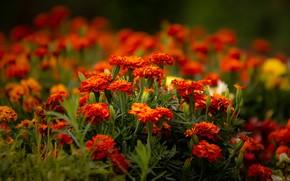 Wallpaper flowers, bright, garden, red, flowerbed, autumn, marigolds