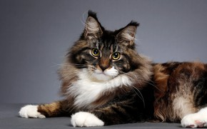 Picture cat, cat, look, pose, background, muzzle, Maine Coon, Studio