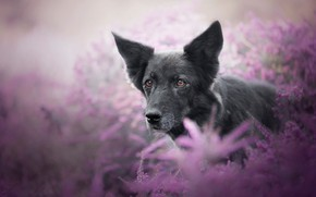 Picture summer, look, face, flowers, nature, background, lilac, portrait, dog, black, ears, brown-eyed, Heather