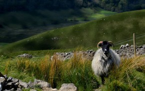 Picture grass, look, landscape, nature, stones, hills, pasture, RAM, lamb, sheep, sheep, livestock