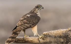 Picture background, bird, predator