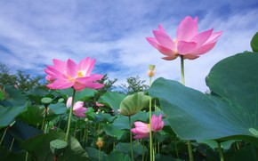 Picture the sky, flowers, Lotus