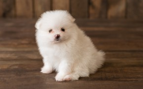 Picture look, dog, fluffy, puppy, white, Pomeranian