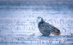Picture winter, field, grass, look, snow, owl, bird, white, sitting, snowy owl, motley