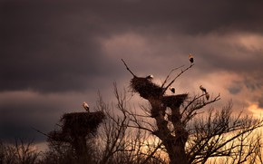 Picture the sky, clouds, trees, birds, branches, clouds, socket, stork, storks, socket, frowning