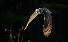Picture flight, owl, wings