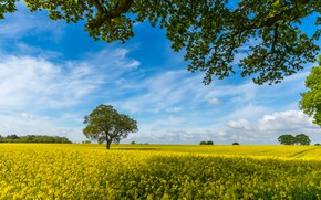 Picture field, the sky, branches, tree, England, rape