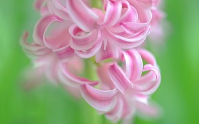 Picture macro, hyacinth, inflorescence