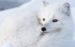 Picture winter, face, snow, lies, Fox