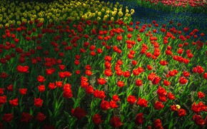 Picture light, spring, tulips, red, flowerbed, a lot