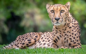 Picture look, Cheetah, handsome