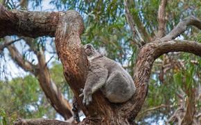 Picture tree, Australia, Koala, sleep