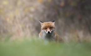 Picture look, face, nature, pose, background, Fox, bokeh, blurred
