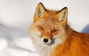 Picture look, face, snow, background, portrait, Fox, red