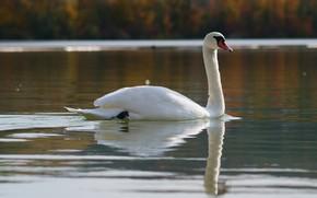 Picture autumn, reflection, bird, shore, Swan, pond