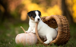 Picture autumn, white, grass, look, nature, pose, Park, background, basket, glade, dog, small, garden, baby, cute, …