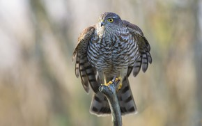 Picture nature, bird, Eurasian Sparrowhawk