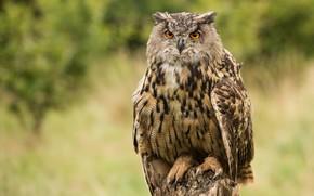 Picture look, nature, background, owl, bird, stump, owl, motley