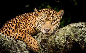 Picture look, face, the dark background, portrait, leopard, lies, log