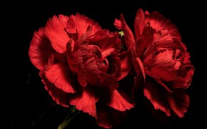 Picture flowers, background, Red Carnations