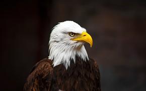 Picture close-up, background, bird, predator, feathers, beak, bokeh, bald eagle