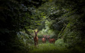 Picture forest, glade, deer