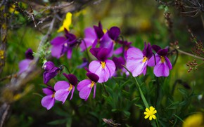 Picture summer, flowers, nature, green, background, spring, Pansy, clearing, lilac, violet, forest