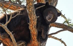 Picture tree, bear, on the tree, Baribal, Black bear