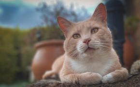 Picture cat, legs, muzzle, red, cat