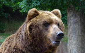 Picture look, face, tree, portrait, bear, bear