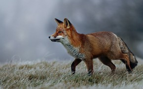Picture winter, frost, grass, nature, animal, Fox, profile, Fox