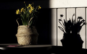 Picture light, shadow, daffodils