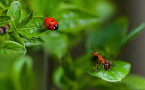 Picture summer, leaves, macro, insects, nature, ladybug, beetle, ant, a couple