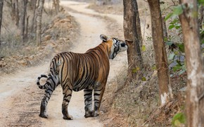 Picture road, trees, branches, tiger, pose, rear view