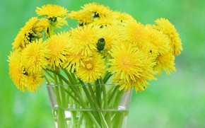 Picture background, bouquet, dandelions, green background