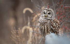 Picture branches, background, owl, bird, owl