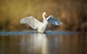 Picture wings, white, pond, Swan, bird, stroke