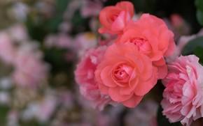 Picture macro, roses, petals, bokeh
