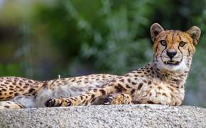 Picture Cheetah, grin, lies