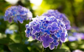 Picture flowers, green, background, petals, lilac, bokeh, hydrangea
