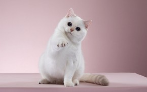 Picture cat, white, look, pose, kitty, background, pink, muzzle, kitty, Studio