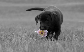 Picture flower, grass, look, pose, glade, black, dog, baby, puppy, walk, face, monochrome, ears, Dahlia, black …