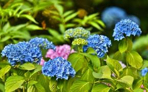 Picture Bush, flowering, blue, Hydrangea