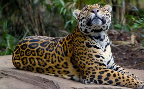 Picture spot, Jaguar, wild cat