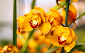 Picture macro, flowers, yellow, orchids, bokeh