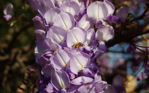 Picture flowers, branches, bee, insect, flowering, inflorescence, lilac, bokeh, Wisteria, Wisteria