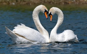 Picture water, drops, love, birds, pose, lake, river, shore, heart, pair, white, Duo, swans, two, pond, …