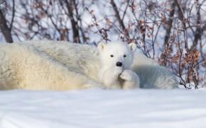 Picture winter, snow, Canada, bear, bear, Polar bears, Manitoba, Polar bears