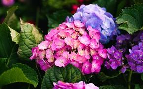 Picture flowers, bright, garden, hydrangea